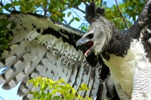 Harpy-Eagle_0