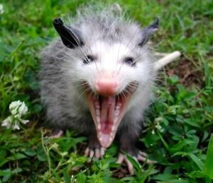 Opossum hiss